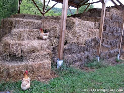 Curious cluck 2 - FarmgirlFare.com