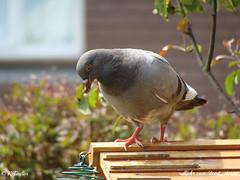 Feral Pigeon (Columba livia) (dead_desire) Tags: summer wildlife sony columbalivia feralpigeon gardenbird dsch3