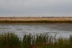 Sask Snow Geese (9)