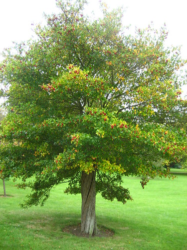 Berry tree in the University Parks