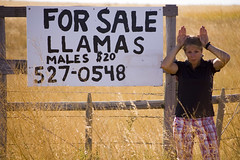 Llamas For Sale (Rowe, T.A.) Tags: county canada hat llama lisa alberta medicine cypress