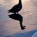 Contemplative duck