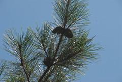 Pinus taiwanensis   20110918_11 (plj.johnny/) Tags: plants plant taiwan   hehuanshan