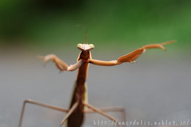 チョウセンカマキリ [Tenodera angustipennis]