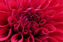 "Dahlia (MUMU.09) Tags: dahlia flowers flower macro nature fleur de photo foto flor petal da » 花 bild blume fiore asteraceae dalia 照片 park"" pétale imagem الصور petalo زهرة 写真 ""flower flori compositae dahlie صورة blütenblatt pétala 圖片 цветок ダリア фото magnoliopsida イメージ फोटो 花びら 花瓣 parcfloraldevincennes изображение георгин flores"" flor"" छवि ""floral البتلة ""زهرة 嬌琴紗 डाह цветочного лепестка पत्ती फू फूल"" ""pétalos أضاليا mumu09"