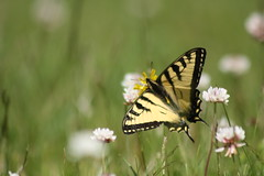 & with a broken wing... (~ Paula B) Tags: nature newfoundland butterfly insects newfoundlandwildflowers