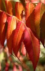 Automne (Mam'zelle Kaelle) Tags: orange automne arbre feuille canon450d