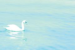 A Swan (rosewoodoil) Tags: blue italy lake water swan italia swans 50 50views italie lakegarda birdwatcher lagodigarda veneto photographedublin somethingblueinmylife