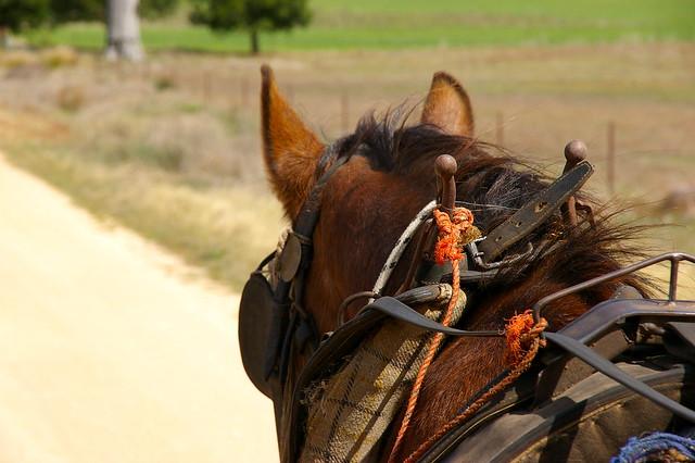 velvety horse ears