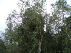 Tristerix corymbosus (L.) Kuijt. (josesando) Tags: quintral tristerix corymbosus