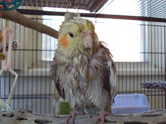 cockatiel after shower I (bondedwithtiels) Tags: pets weblog cockatiel cockatiels wetbird tiels cockatielcare
