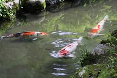 流れをつくる錦鯉 / Colored carps
