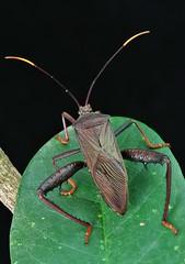Leaf-footed Bug (Anoplocnemis sp., Coreidae) (John Horstman (itchydogimages, SINOBUG)) Tags: macro insect china bug black true itchydogimages yunnan coreoidea leaffooted coreidae lightbox entomology