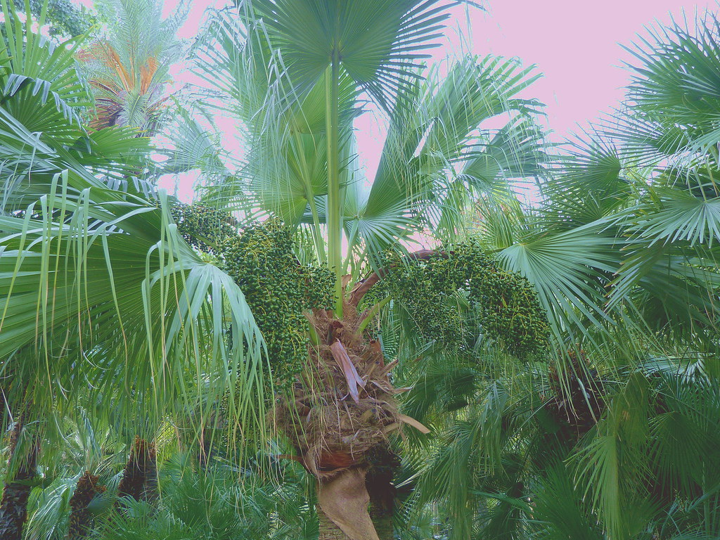01-10-2011-trees-i-am-a-chinese-fountain-palm