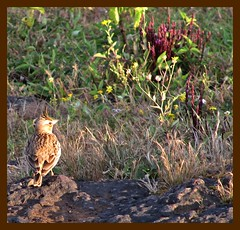 Crested Lark - Panchgani Table Land (Snonymousw5) Tags: light sunset cloud sun india lake nature evening september maharashtra wildflowers mahabaleshwar panchgani westernghats monsoons satara tableland 2011 kamalgad indianature eriocaulon dhomdam utriculariapurpurascens smithia panchganitableland snonymous