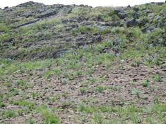 Penstemon radicosus (Matt Lavin) Tags: blue midsummer habit native idaho scrophulariaceae habitat herb perennial postfire idahonationallaboratory penstemonradicosus matrootpenstemon jeffersonfire