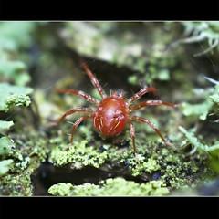 Whirligig Mite (Johan J.Ingles-Le Nobel) Tags: autumn insect insects mite extrememacro whirligigmite johanjingleslenobel reversedlensphoto insectfieldmacro extrememacrocouk