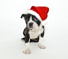 Boston Terrier Wearing a Santa Hat (Jaime401) Tags: christmas red blackandwhite dog pet baby pets holiday silly cute sorry hat animal puppy bostonterrier mammal photography funny calendar fuzzy sweet small humor young canine suit whitebackground card santaclaus copyspace brindle breed behavior domesticanimals affectionate picnik facialexpression introuble apologetic alertness purebreddog
