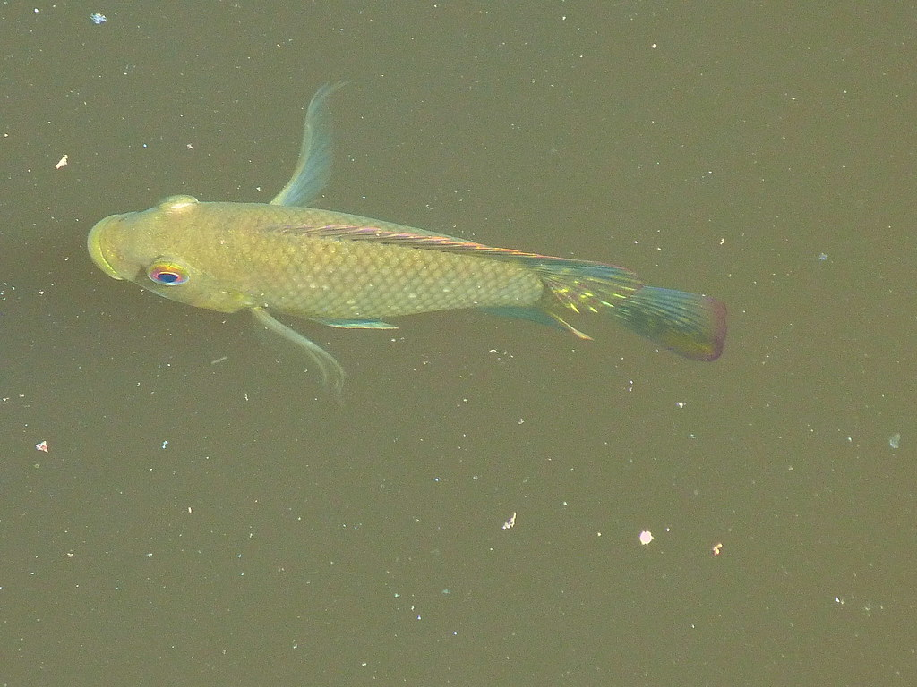 13-10-2011-yellow-fish-in-murky-water