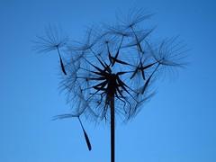 Dandelion (ambo333) Tags: uk england flower weeds weed seed dandelion seeds cumbria dandelions brampton taraxacum