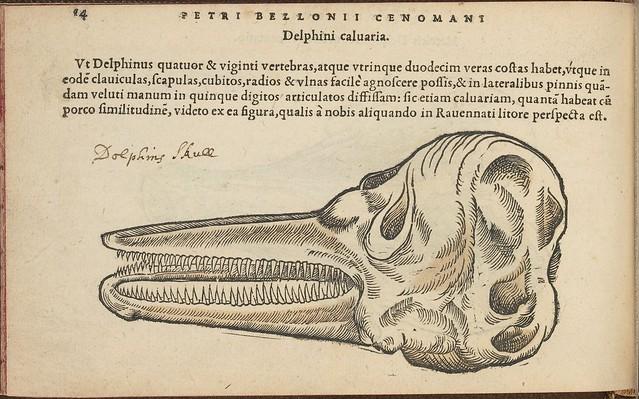 Dolphin's skull