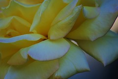 Yellow in the Morning (Zoom Lens) Tags: life flowers roses flower color floral beauty rose sadness nikon blossom joy blossoms romance celebrations bloom buds bud blooms thorns condolences fragrance aroma johnrussellakazoomlens copyrightbyjohnrussellallrightsreserved setrosesaviewpoint