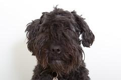 Mug shot (Oliver C Wright) Tags: portrait dog pet bouvier