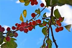 baies rouges (juliette photo) Tags: autumn plants plant paris fall fruits fruit automne plante garden rouge berry berries jardin plantes baie jardindesplantes rouges baies baiesrouges
