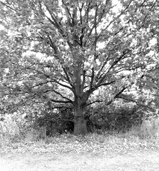 Black And White Tree 2 (Bewitched95) Tags: sky white black tree grass leaves branches bark trunk lone