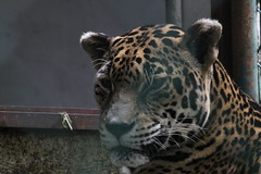 "Jaguar • <a style=""font-size:0.8em;"" href=""http://www.flickr.com/photos/62826658@N06/6134543525/"" target=""_blank"">View on Flickr</a>"