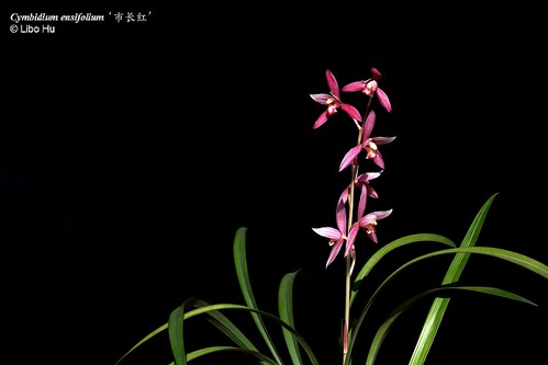 Cymbidium Ensifolium Orchid Cymbidium Ensifolium Var 39