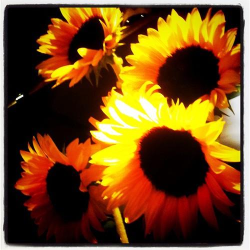 竹蔵向日葵