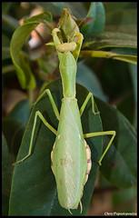 Pregnant Mantis (pap-x) Tags: macro green nature leaves closeup canon mantis insect pregnant