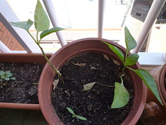 2 plantas de pimiento en maceta sobreviviendo