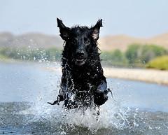 splashdance :: 37/52 (sarah ...) Tags: dog wet river flying intense waves ears splash kaleb soaked flatcoatedretriever splashdance 3852 95yearsyoung 52weeksfordogs