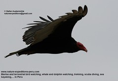 Turkey vulture Birding Peru (5) (Nature Expeditions 06) Tags: world new trip sea vacation bird peru nature port turkey island islands marine holidays tour birding stefan trips guide vulture aura guano colonies turkeyvulture cathartesaura cathartes expeditions pucusana cathartidae newworldvultures birdguide sealioncolonies natureexpeditions birdinginperu austermhle birdingperu vulturesofperu