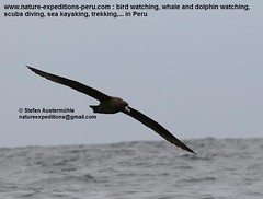 White-chinned petrel Birding Peru (3) (Nature Expedtions 07) Tags: ocean trip sea vacation bird peru nature islands marine holidays tour lima birding reserve stefan national oceanbirds trips guide seabirds paracas pelagic ballestas ballestasislands petrel expeditions pucusana marinebirds birdguide procellariidae pelagicbirds whitechinnedpetrel procellaria procellariaaequinoctialis pelagicbirding aequinoctialis whitechinned nationalreserveofparacas natureexpeditions birdinginperu austermhle birdingperu birdinginlima marinebirdsofperu oceanbirdsofperu pelagicbirdsofperu petrelsofperu