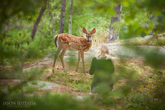 Close Encounter (BigBrotherBear) Tags: park camping wild summer vacation baby white lake jason ontario canada love digital forest canon photography prime bay is big amazing rocks warm honeymoon close married bokeh young super canadian full deer 300mm professional telephoto fawn frame pro mk2 5d georgian shield 28 usm 300 f28 ef huron encounter provincial mkii 2011 300l killbear 5dmkii 5dmk2 idzderda