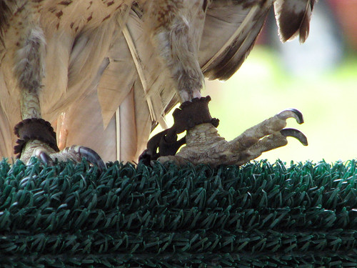 Red-tailed Hawk permanent foot injury