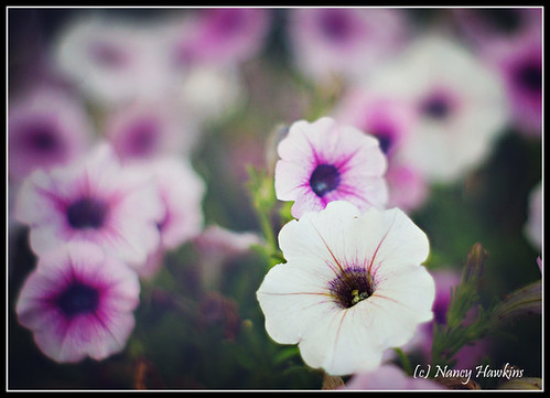 Petunias by Nancy Hawkins