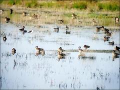 茄萣濕地的候鳥,包括小水鴨、白眉鴨、琵嘴鴨和尖尾鴨。(鄭和泰提供)