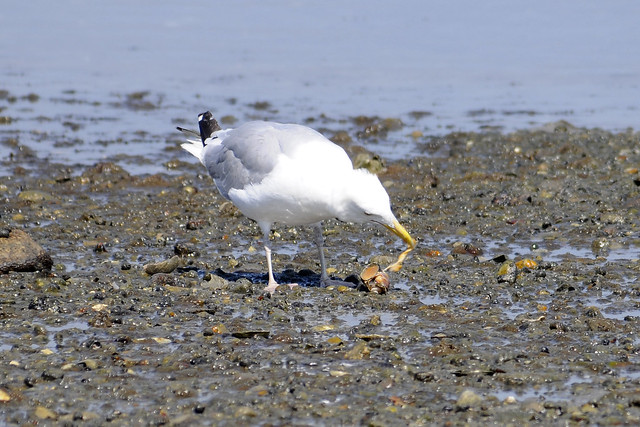 gull killing a conch 4