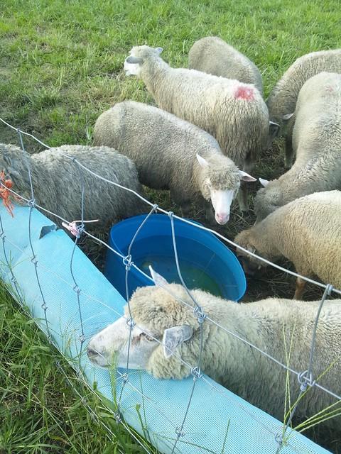 やっとのことで羊の群れにエンカウントの写真