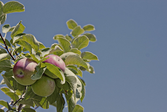 apple branch