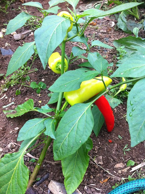 Chile Peppers growing!