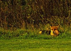fox (mahoochma) Tags: wild urban animal wales night foxy lowlight nikon wildlife llanelli nighttime fox d7000 iso64000 mahoochma