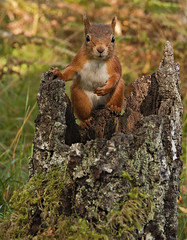 Red Squirrel chilled out (Margaret J Walker) Tags: autumn scotland niceshot wildlife cairngorms redsquirrel nauture nikond300s mygearandme blinkagain