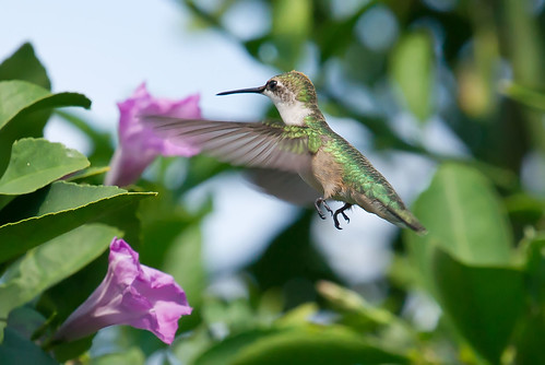Hummingbird Fall 2011