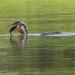 Cormorant vs Plecostomus 20110925 104016 AM