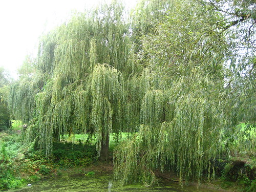 Weeping willow in the University Parks